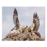 Osprey family portrait photo print