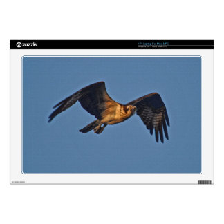 Osprey Fish Eagle Flying at Sunset Decals For Laptops