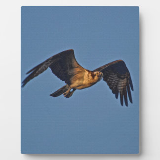 Osprey Fish Eagle Flying at Sunset Plaques