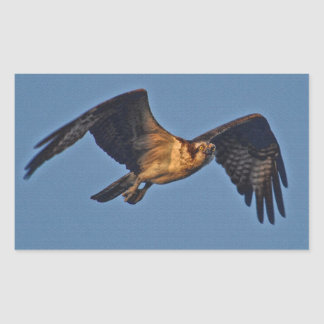 Osprey Fish Eagle Flying at Sunset Rectangle Stickers