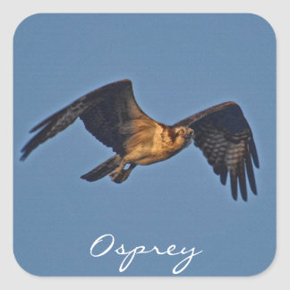 Osprey Fish Eagle Flying at Sunset Square Stickers