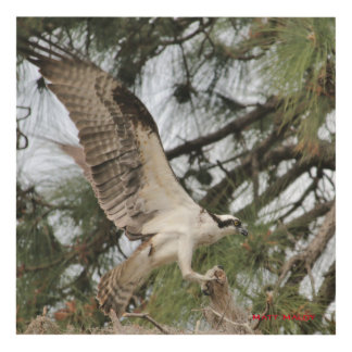 Osprey Fish Hawk Matte Wall Panel (12x12)