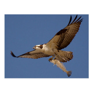 Osprey Fisher Postcard