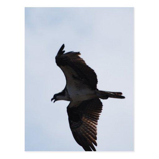 Osprey Flight Postcard