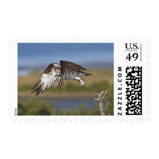 Osprey (haliaetus del Pandion) en vuelo, Tejas Timbre Postal