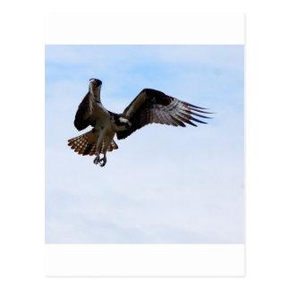 Osprey hawk attacking a surfacing fish. postcard