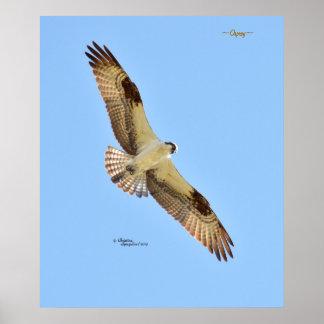 Osprey hawk bird flying Print or Poster