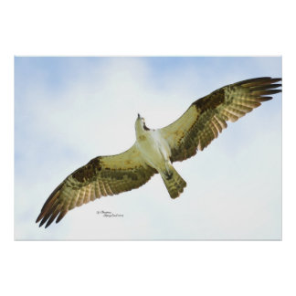 Osprey Hawk flying Poster or Print