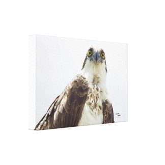 Osprey hawk Stretched Canvas Print