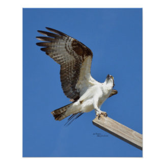 Osprey Hawk stretching wings Poster or Print