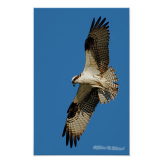 Osprey Hovering Posters