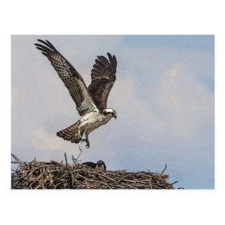Osprey in a nest postcard