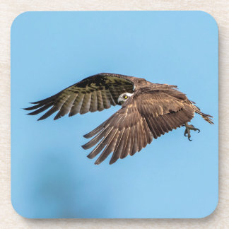 Osprey in flight at Honeymoon Island State Park Beverage Coaster