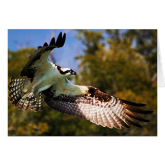 Osprey in flight card