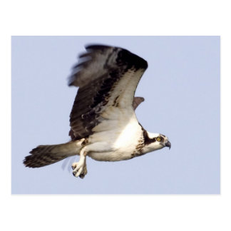 Osprey in Flight Postcard