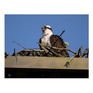 Osprey in nest postcard