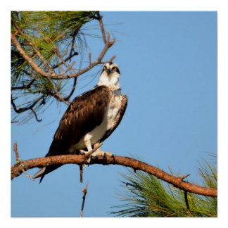 Osprey in the wild poster
