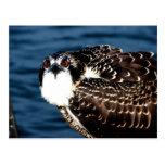 Osprey, isla de Tilghman, puerto del Dogwood, Postales