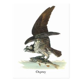 Osprey, John Audubon Postcard