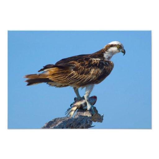 Osprey, la Florida Fotografias