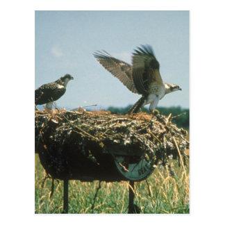 Osprey Nest Postcard