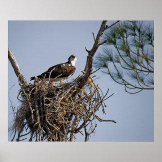 Osprey Nest Poster