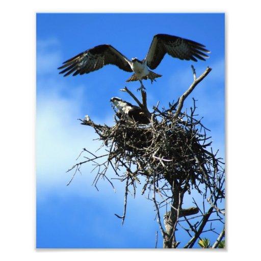 Osprey on Nest Photo