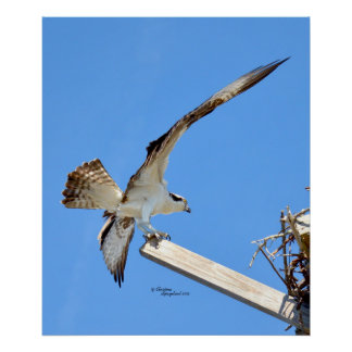 Osprey or Hawk stretched wings Poster or Print
