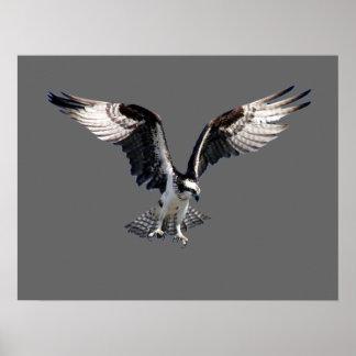 Osprey Impresiones
