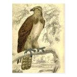 Osprey:  Postal de la impresión de Jardine del vin