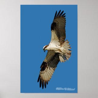 Osprey que asoma poster