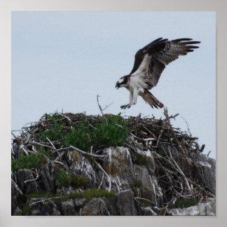 Osprey que aterriza el poster