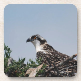 Osprey que se sienta en los prácticos de costa del posavasos de bebida