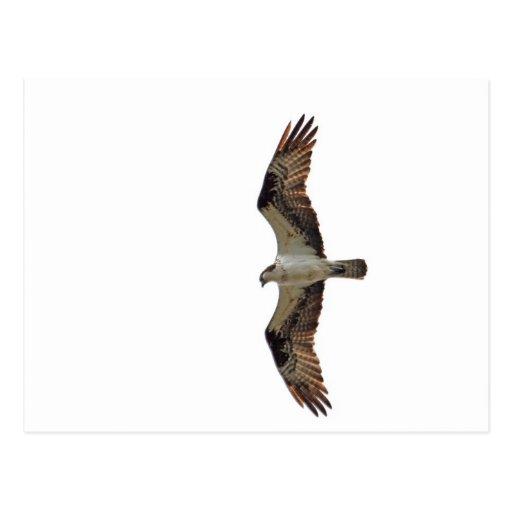 Osprey que vuela la foto tarjeta postal