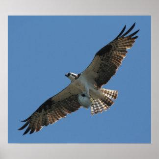 Osprey Raptor Bird & Halibut Fish Print