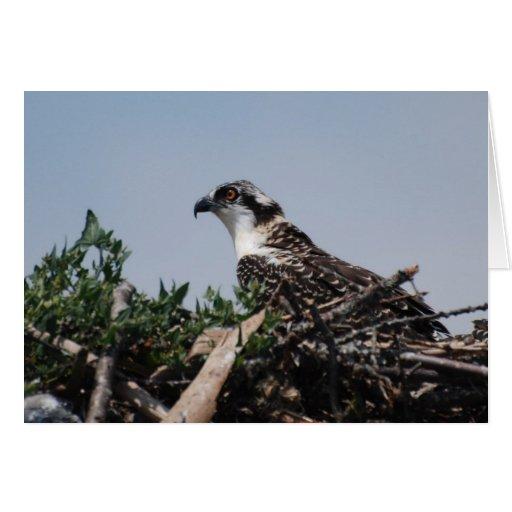Osprey Sitting on Nest Greeting Card