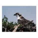 Osprey Sitting on Nest Postcard