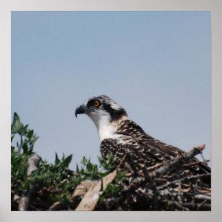 Osprey Sitting on Nest Poster