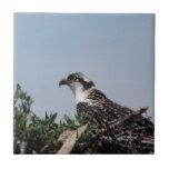 Osprey Sitting on Nest Tile