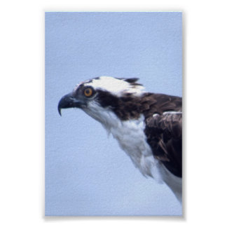 Osprey sq poster