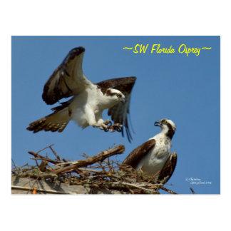 Ospreys flying landing nest Postcard