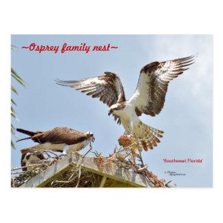 Ospreys hawks bringing food nest Postcard