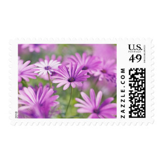 Osteospermum flowers postage