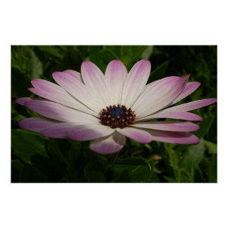 Osteospermum: Whiter Shade of Pale Poster