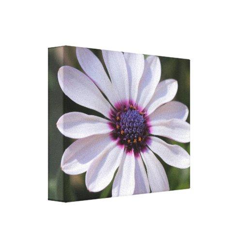 Osteospermum  Wrapped Canvas Canvas Print