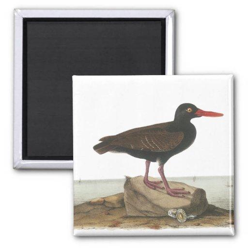 Ostrero negro, Juan Audubon Imán De Frigorifico
