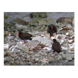 Ostreros en la orilla, isla de Unalaska Postales