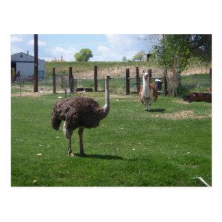 Ostrich and Llama Postcard