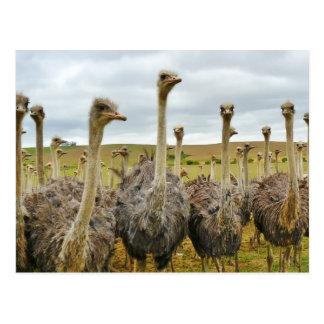 Ostrich Bird Postcard