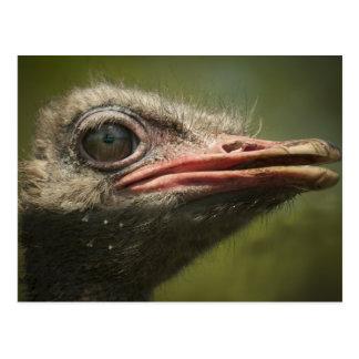Ostrich Blair Drummond Postcard